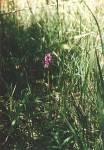 Vstavač májový